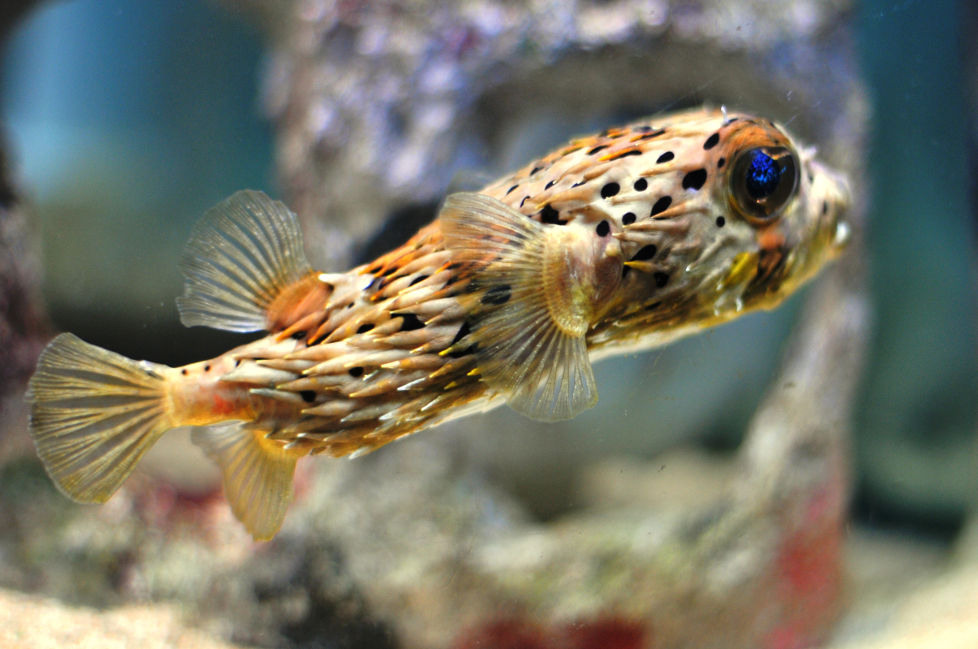 1 porcupine puffer fish hd wallpapers backgrounds for A puffer fish