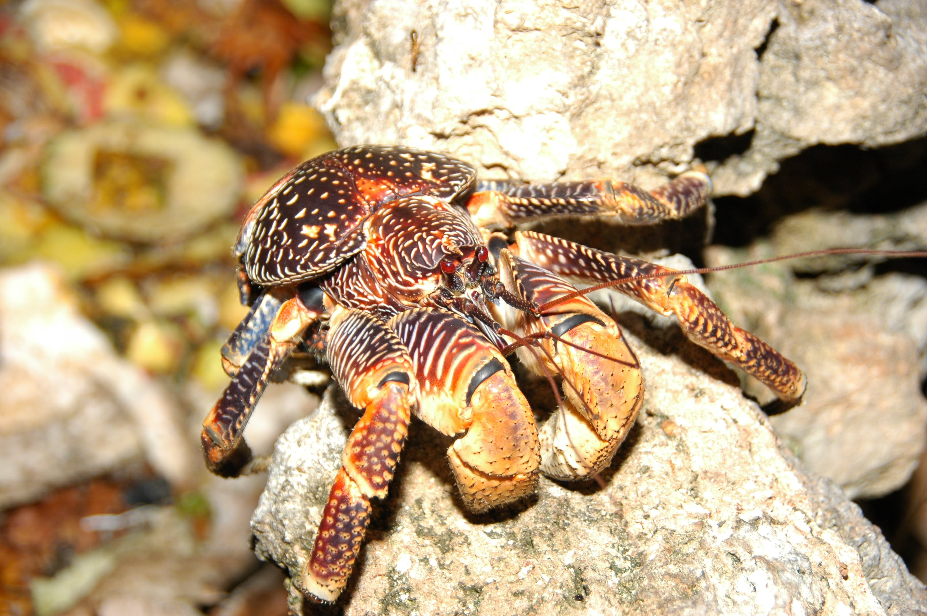 4 Coconut Crab Hd Wallpapers Background Images HD Wallpapers Download Free Images Wallpaper [1000image.com]
