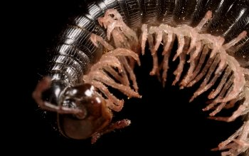 Animal - Millipede Wallpapers and Backgrounds ID : 391533