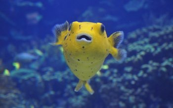 Animal - Puffer Fish Wallpapers and Backgrounds ID : 391653