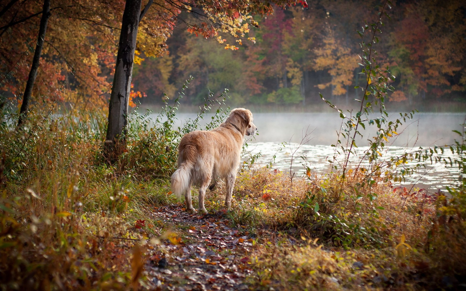 Animal - Golden Retriever  Animal Dog Tree River Wallpaper