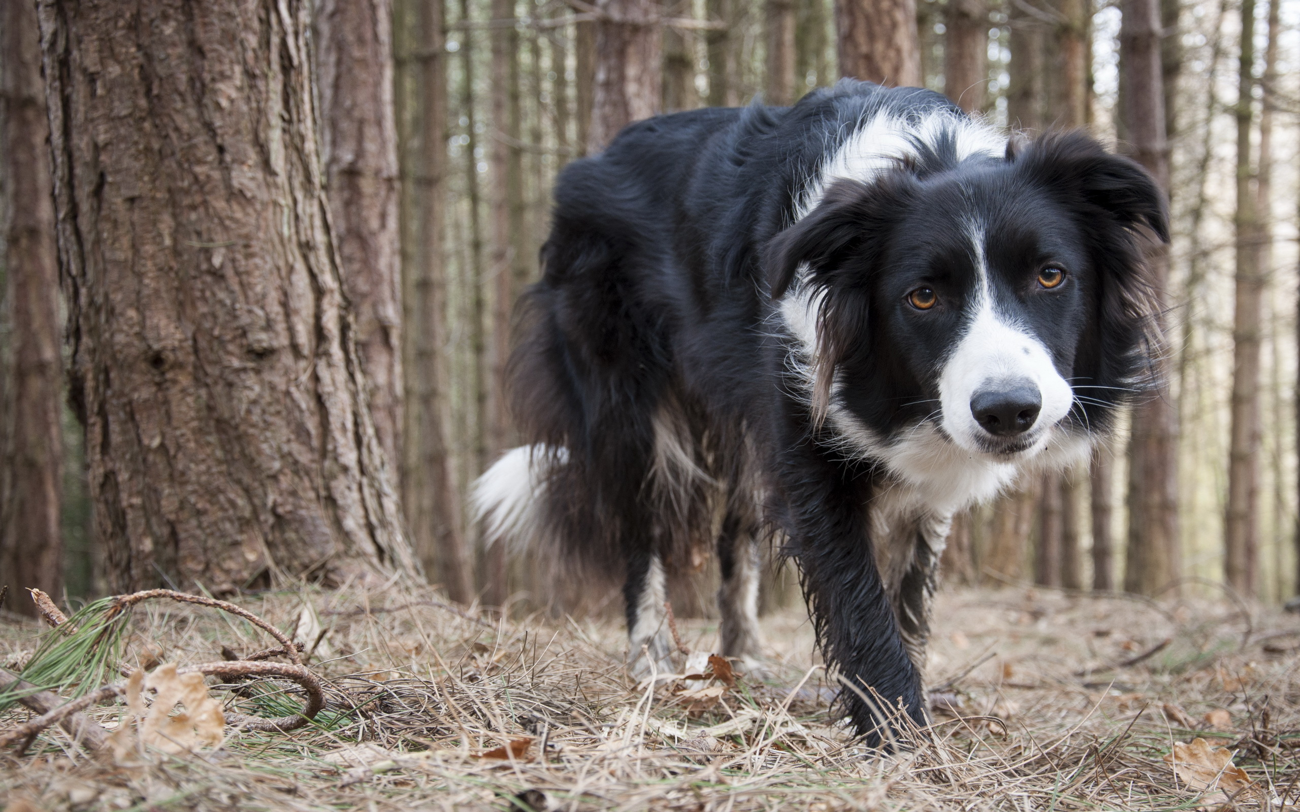 D B Farm Border Collies Border Collie Full HD ...