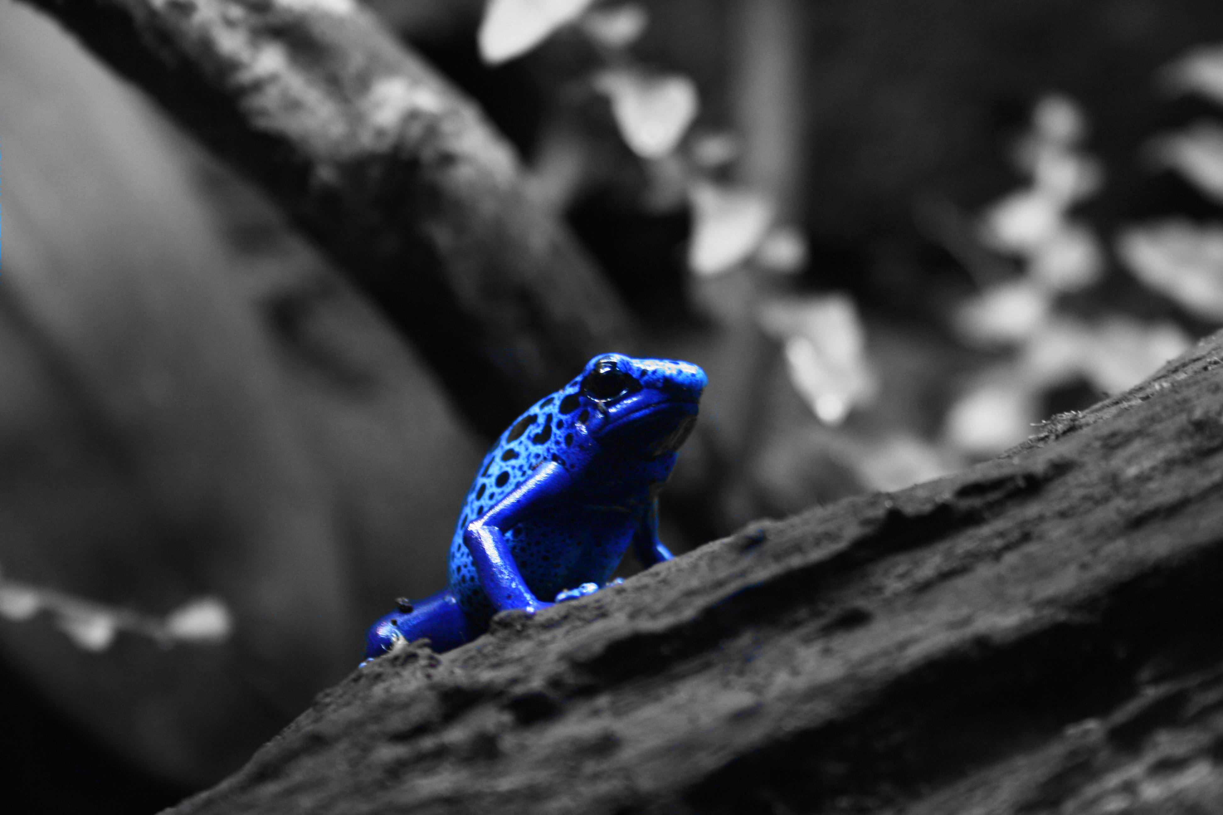 3 Blue Poison Dart Frog HD Wallpapers | Backgrounds ...