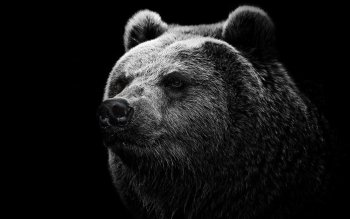 Animal - Bear Wallpapers and Backgrounds ID : 396330