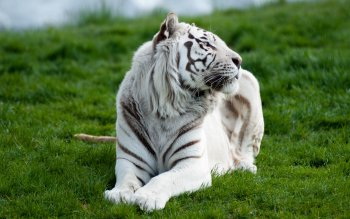 Animal - White Tiger Wallpapers and Backgrounds ID : 396870