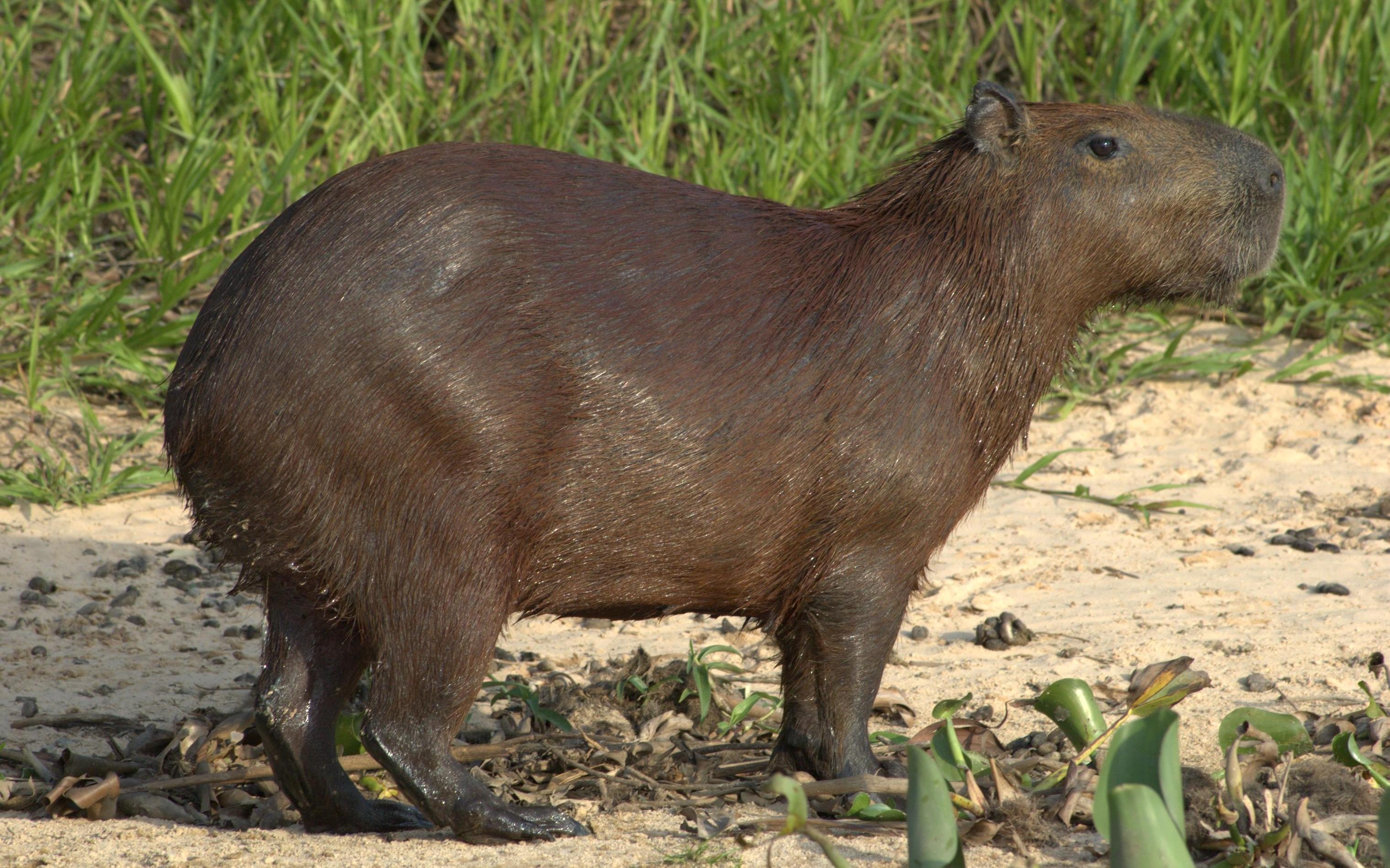 capybara wallpaper pool - photo #28