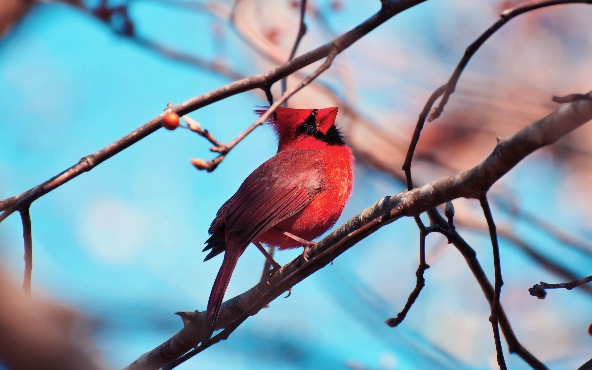 Cardinal Full HD Wallpaper And Background