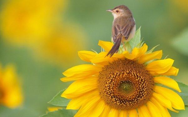 Animales Ave Aves Girasol Fondo de pantalla HD | Fondo de Escritorio