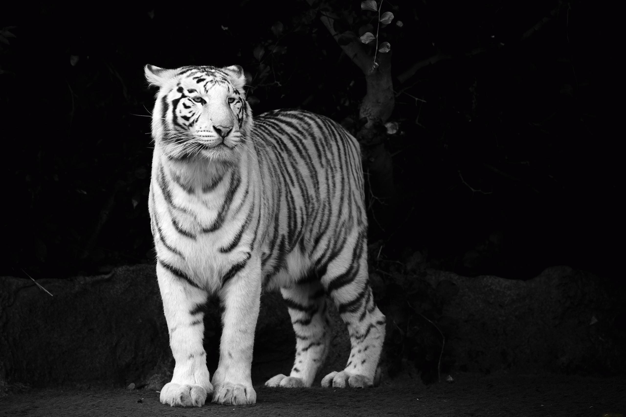 Weißer Tiger Full HD Wallpaper and Hintergrund | 2560x1707 ...
