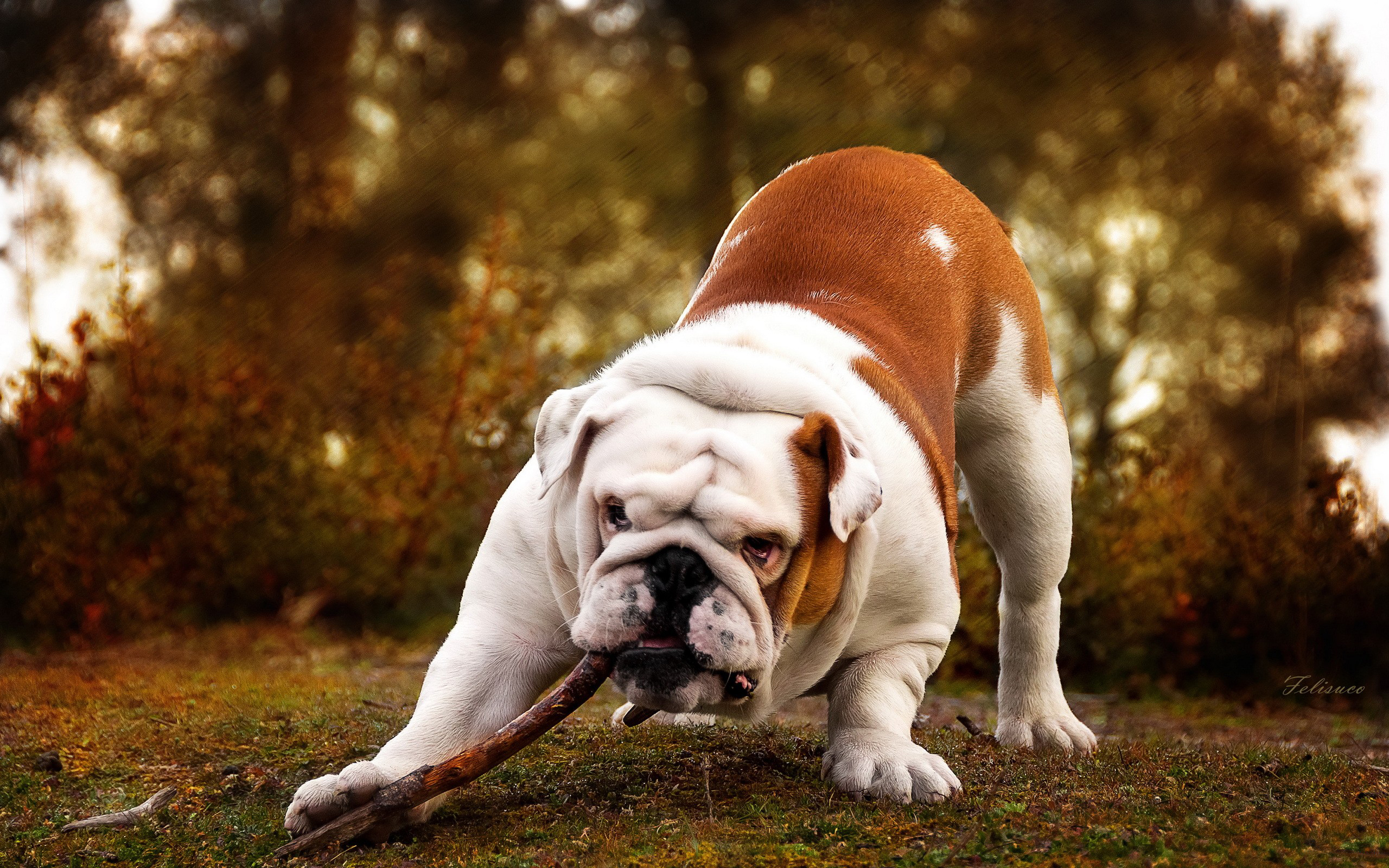 Bulldog Full HD Wallpaper and Background Image | 2560x1600