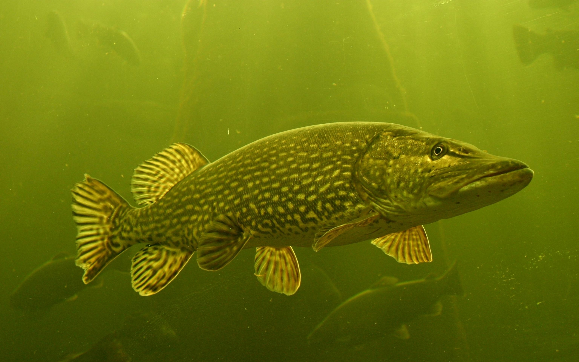 3 northern pike hd wallpapers backgrounds wallpaper abyss for Northern pike fish