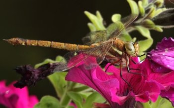Animal - Dragonfly Wallpapers and Backgrounds ID : 400000
