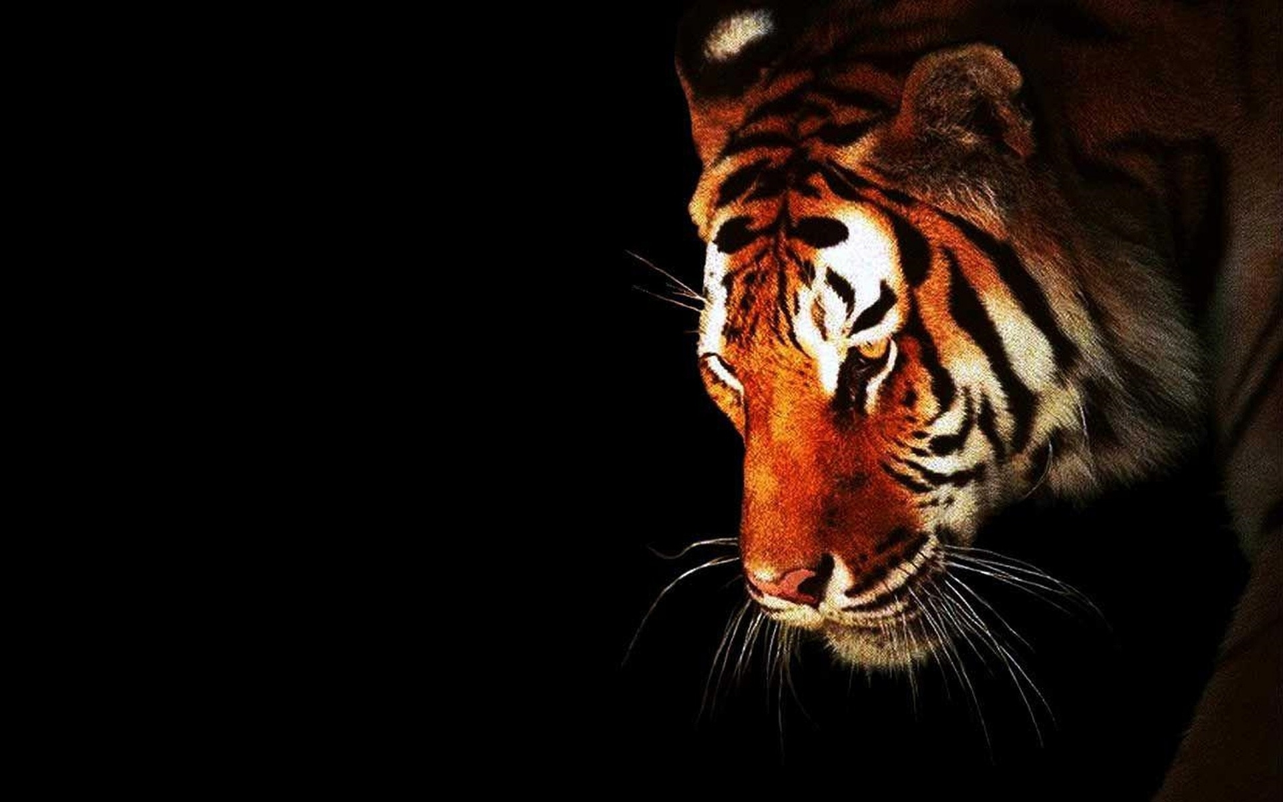 Tiger hd wallpaper background image 2560x1600 id 401669 wallpaper abyss - Tiger hd wallpaper for pc ...