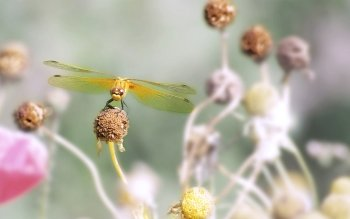 Animal - Dragonfly Wallpapers and Backgrounds ID : 401708