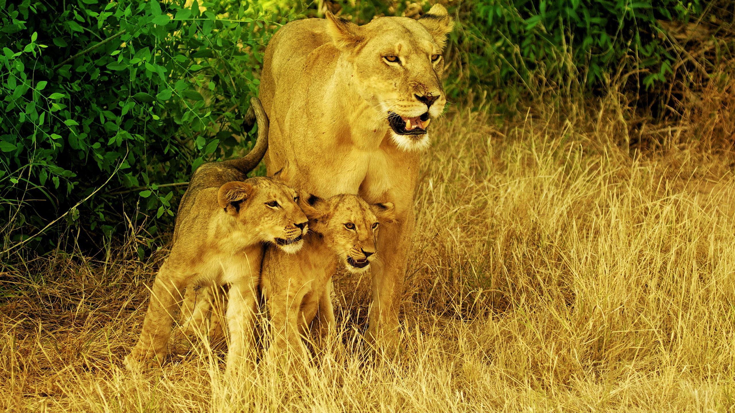 Lion Family Fond Décran Hd Arrière Plan 2560x1440 Id