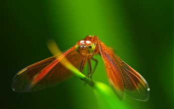 Animal - Dragonfly Wallpapers and Backgrounds ID : 402699