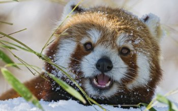 Animal - Red Panda Wallpapers and Backgrounds ID : 402858