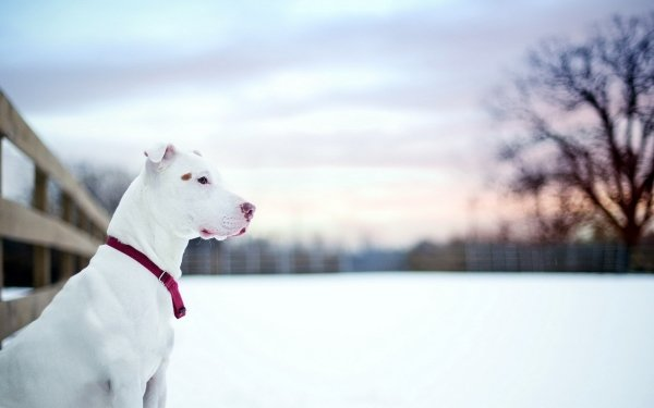 Animal American Pit Bull Terrier Dogs Dog Pet Pit Bull HD Wallpaper | Background Image