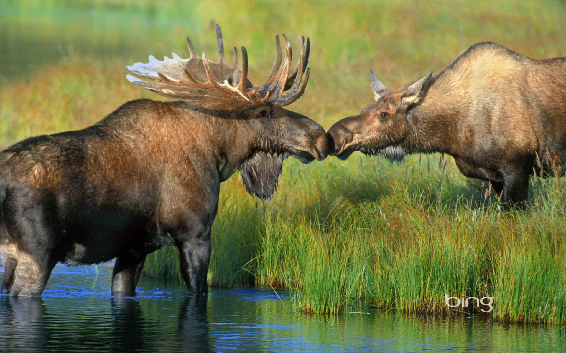 moose hd wallpaper - photo #19