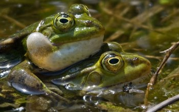 Animal - Frog Wallpapers and Backgrounds ID : 404830