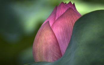 Erde - Lotus Wallpapers and Backgrounds ID : 404968