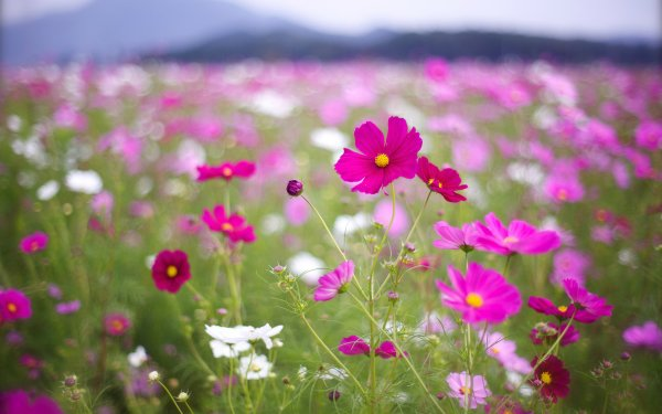 Earth Cosmos Flowers Flower HD Wallpaper   Background Image