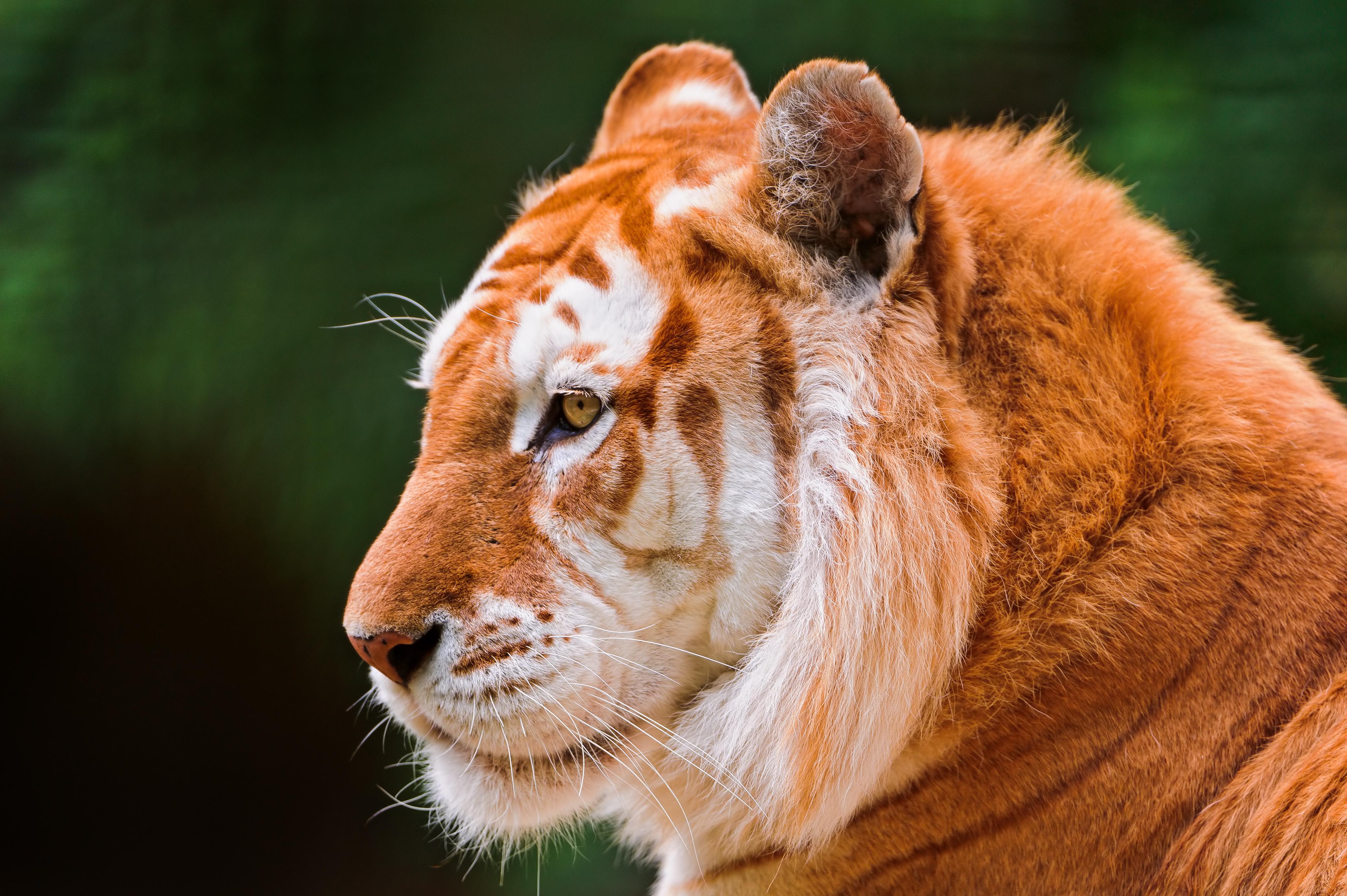 老虎图片 老虎高清壁纸 动物壁纸-第2张