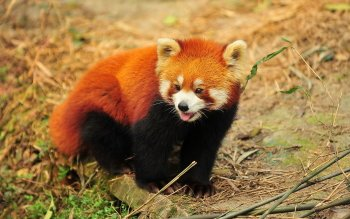 Animal - Red Panda Wallpapers and Backgrounds ID : 405179