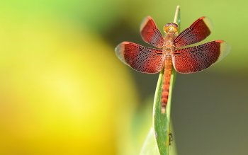 Animal - Dragonfly Wallpapers and Backgrounds ID : 405693