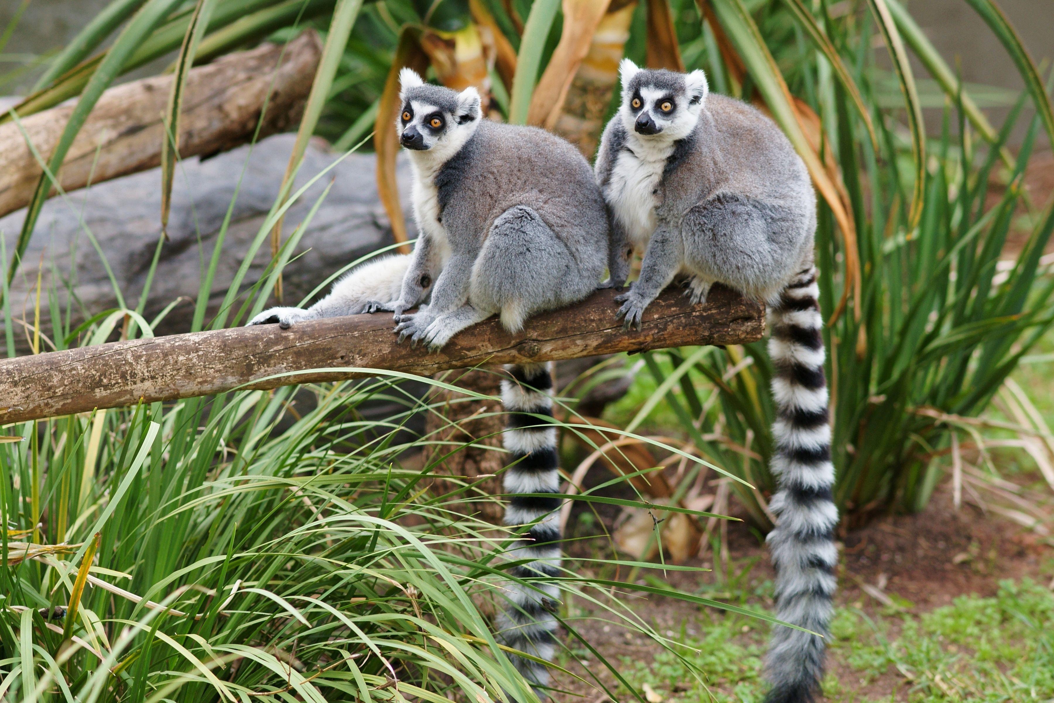 Top Lemur Wallpaper - 406400  Trends_694039.jpg