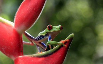 Animal - Frog Wallpapers and Backgrounds ID : 406081