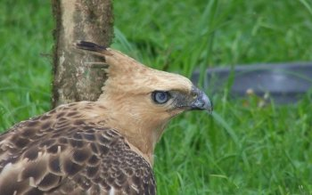 Animal - Javan Hawk-eagle Wallpapers and Backgrounds ID : 406128