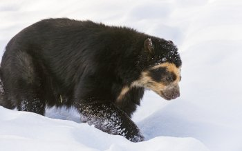 Tier - Spectacled Bear Wallpapers and Backgrounds ID : 406817
