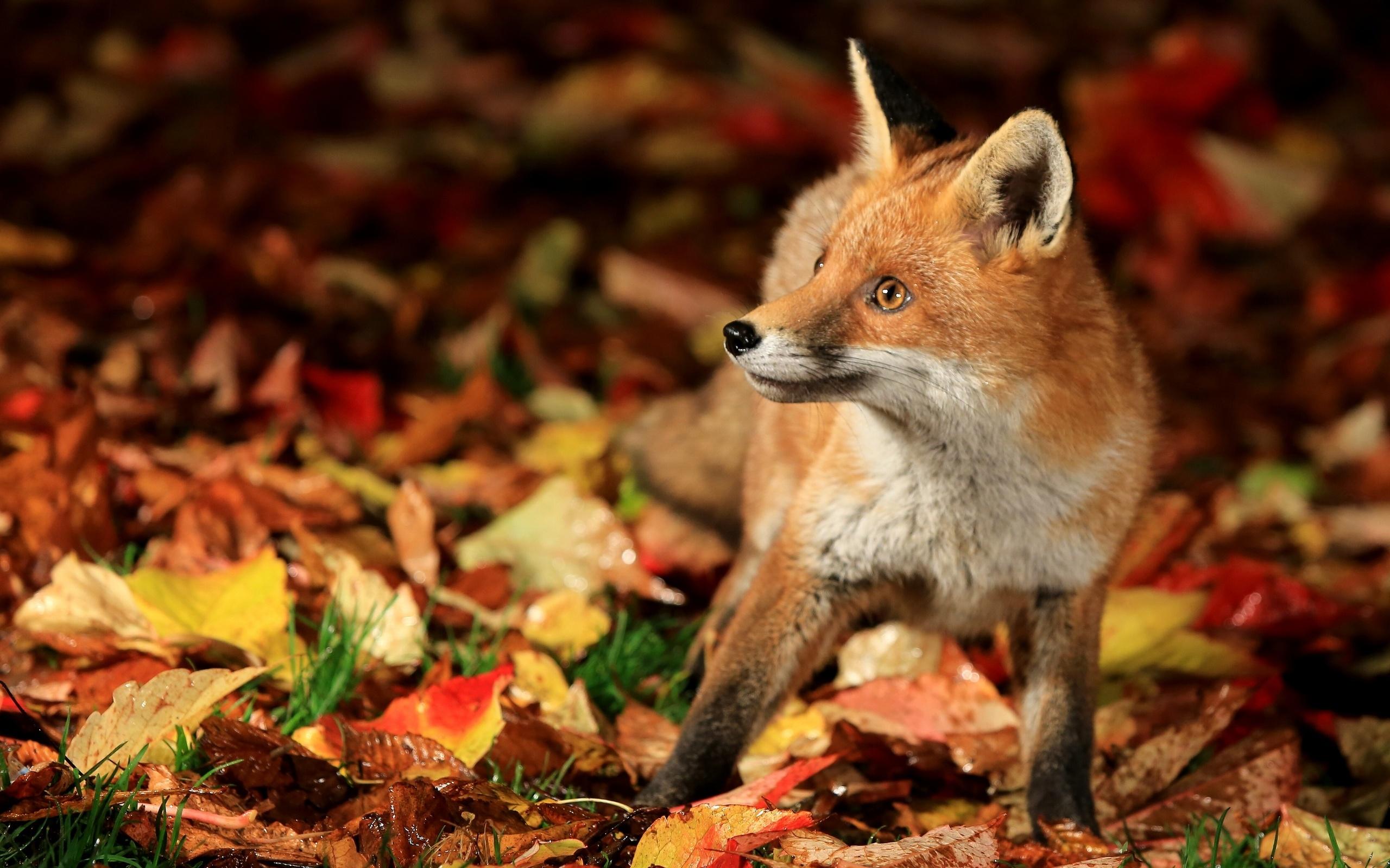 Fox full hd wallpaper and background image 2560x1600 - Fox desktop background ...
