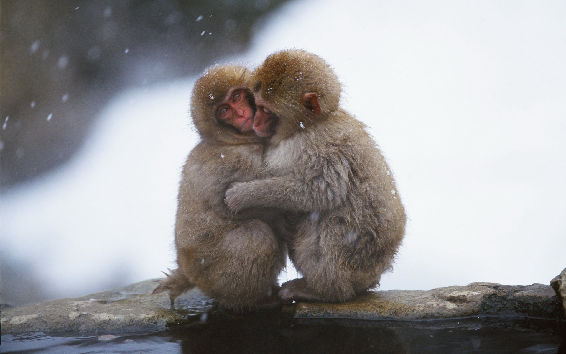 Animal - Japanese Macaque  Monkey Animal Hug Cute Wallpaper