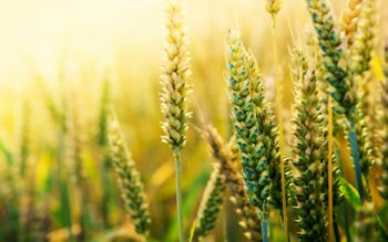Earth - Wheat Wallpapers and Backgrounds ID : 407065