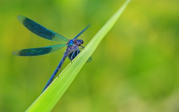 Animal - Dragonfly Wallpapers and Backgrounds ID : 407538