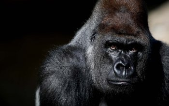 Animal - Gorilla Wallpapers and Backgrounds ID : 407554