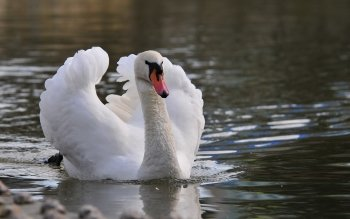 Animal - Swan Wallpapers and Backgrounds ID : 407698