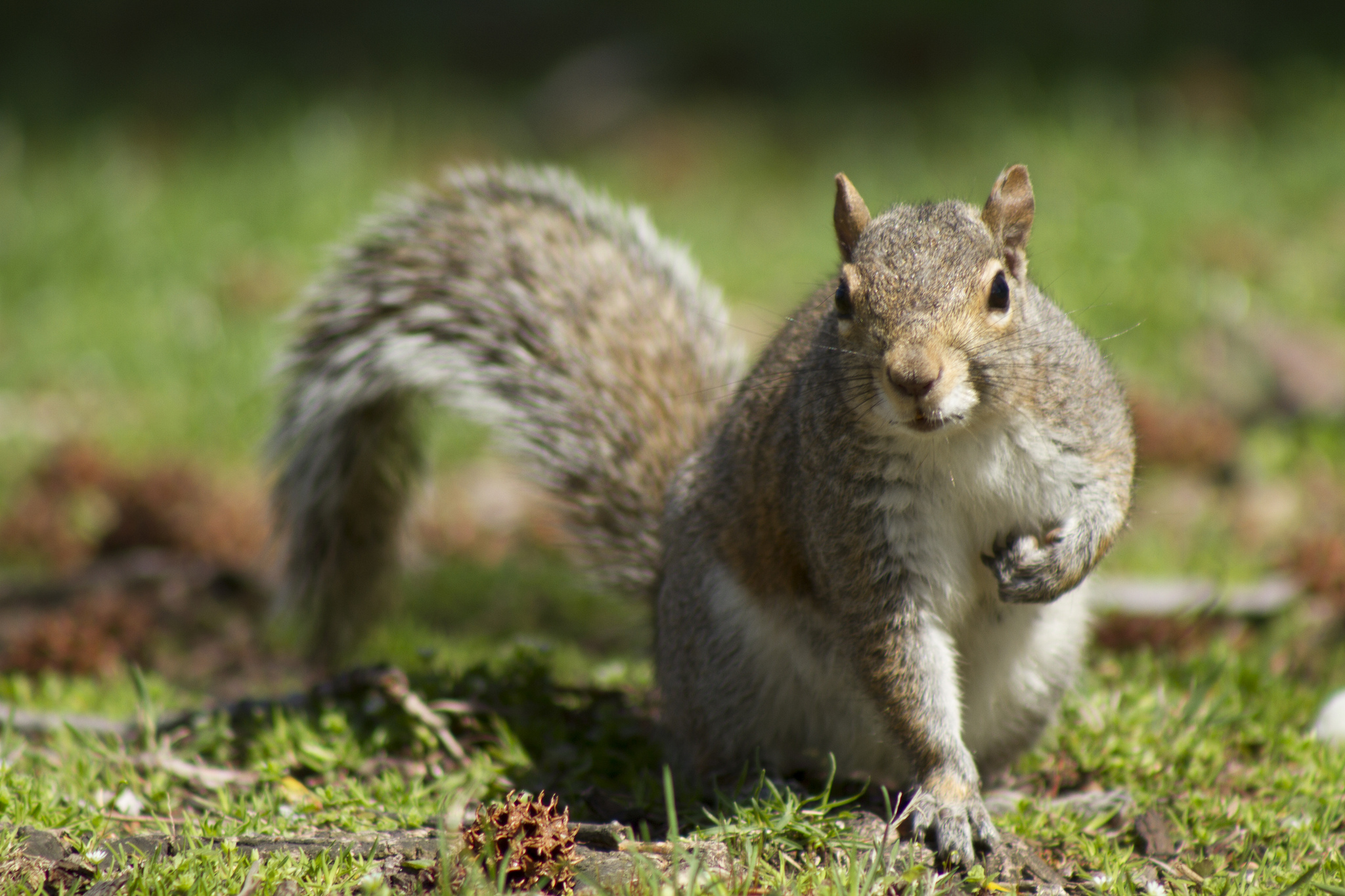squirrel wallpaper - photo #36