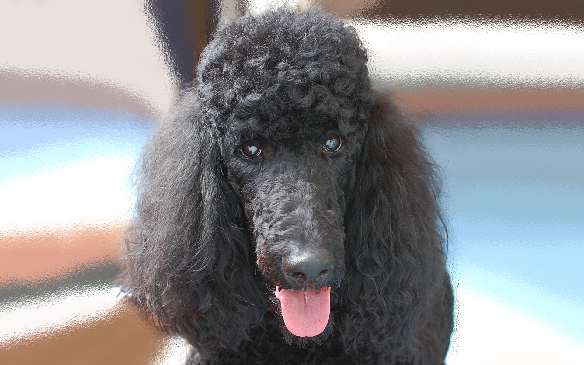 poodle wallpaper for walls - photo #9