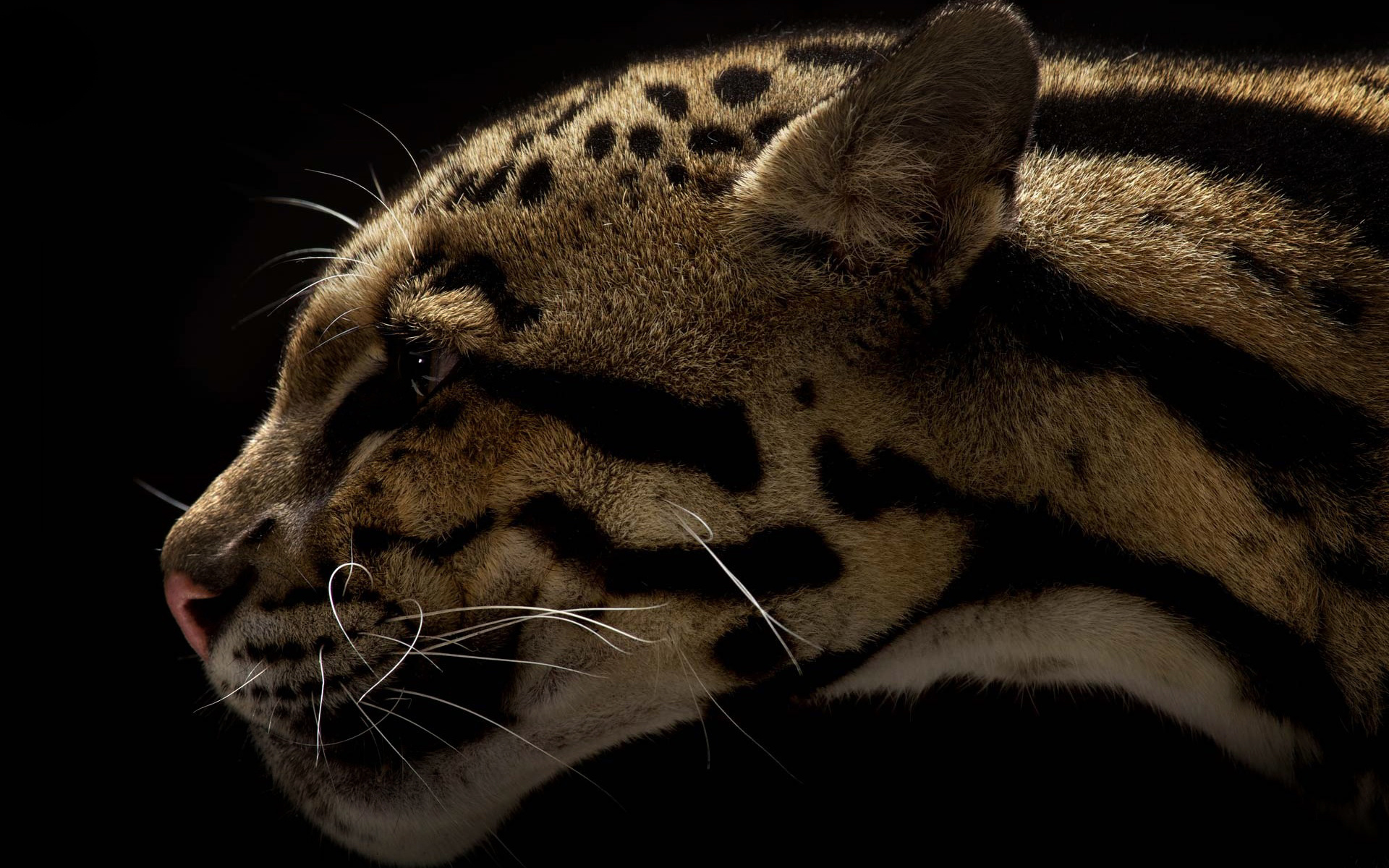 clouded leopard wallpaper - photo #21