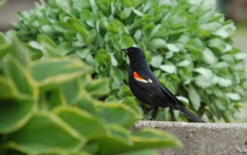 Animal - Red Winged Blackbird Wallpapers and Backgrounds ID : 408526