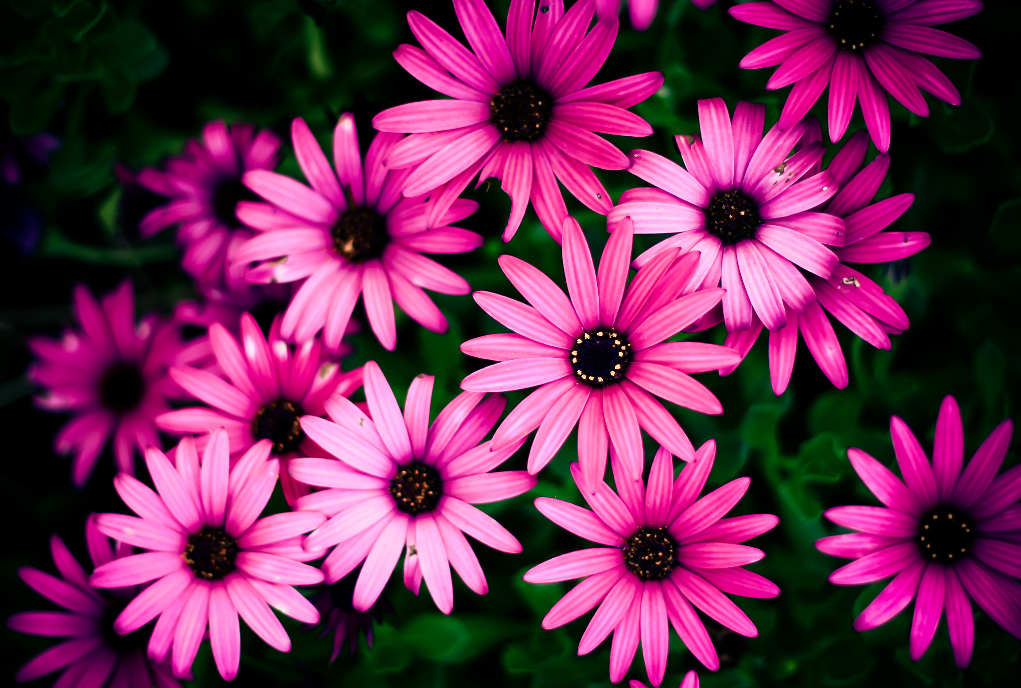 401 Daisy Hd Wallpapers Background Images Wallpaper Abyss