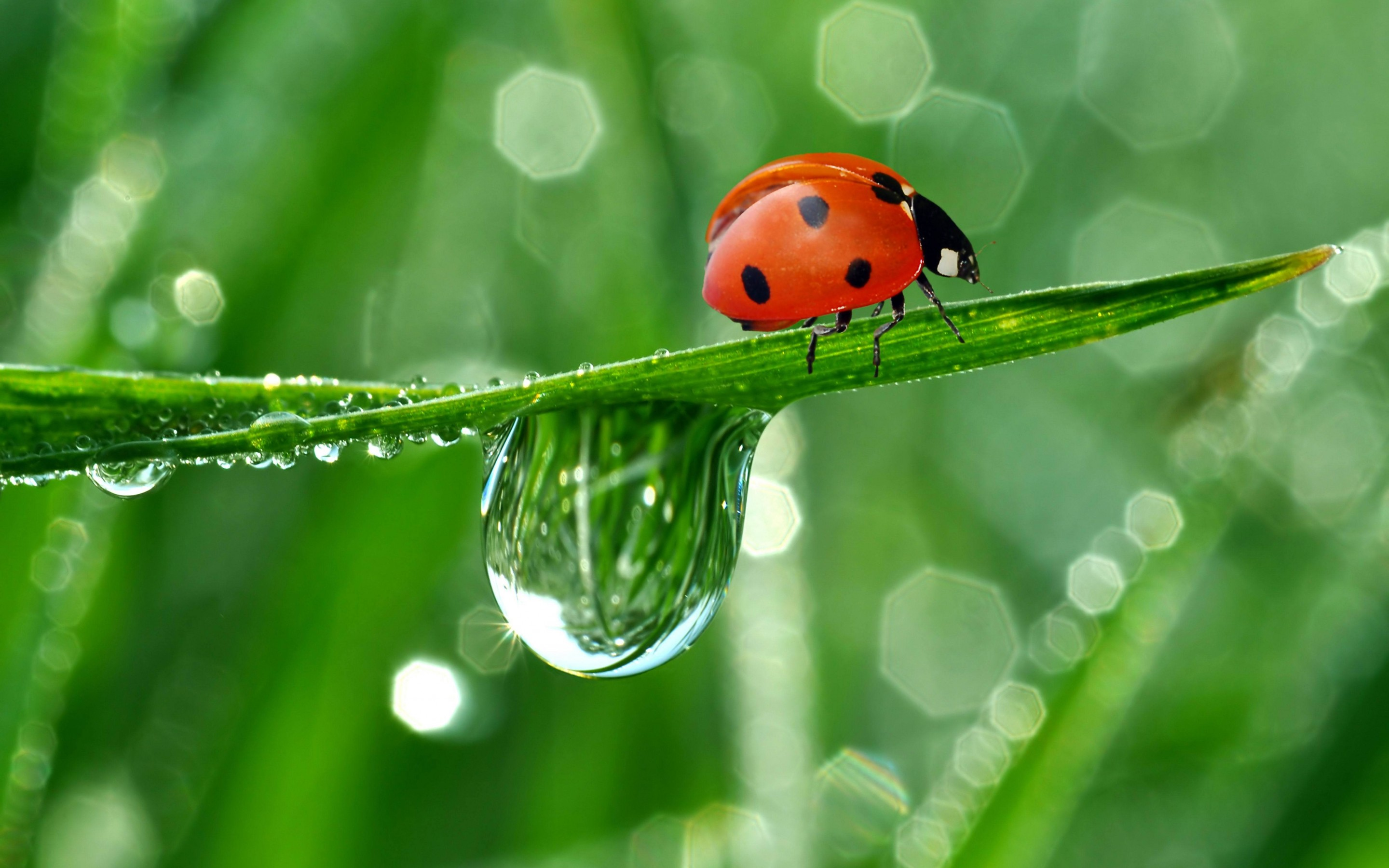 351 ladybug hd wallpapers | background images - wallpaper abyss