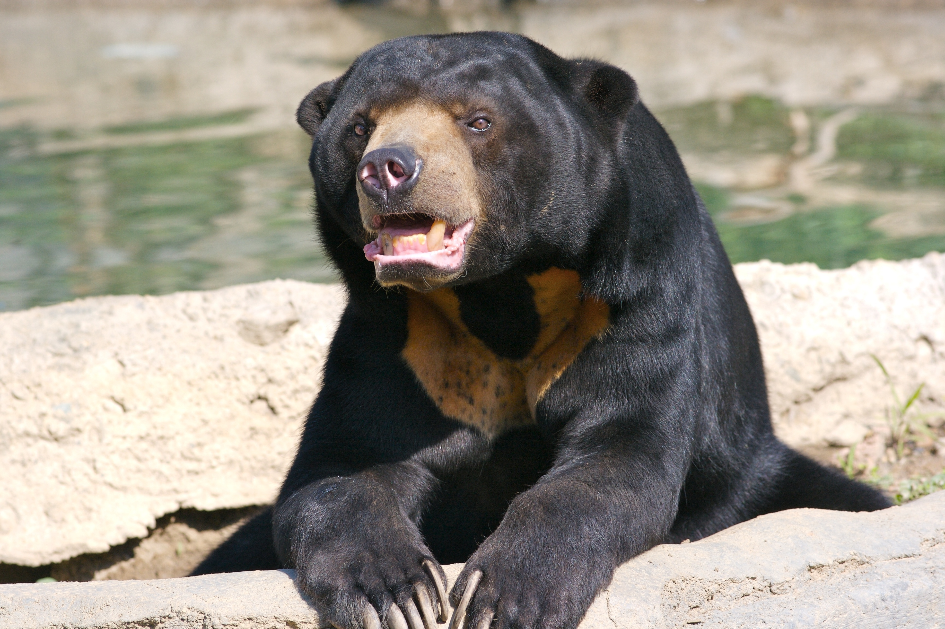 Nature Images 2mb: Sun Bear 4k Ultra HD Wallpaper And Background Image
