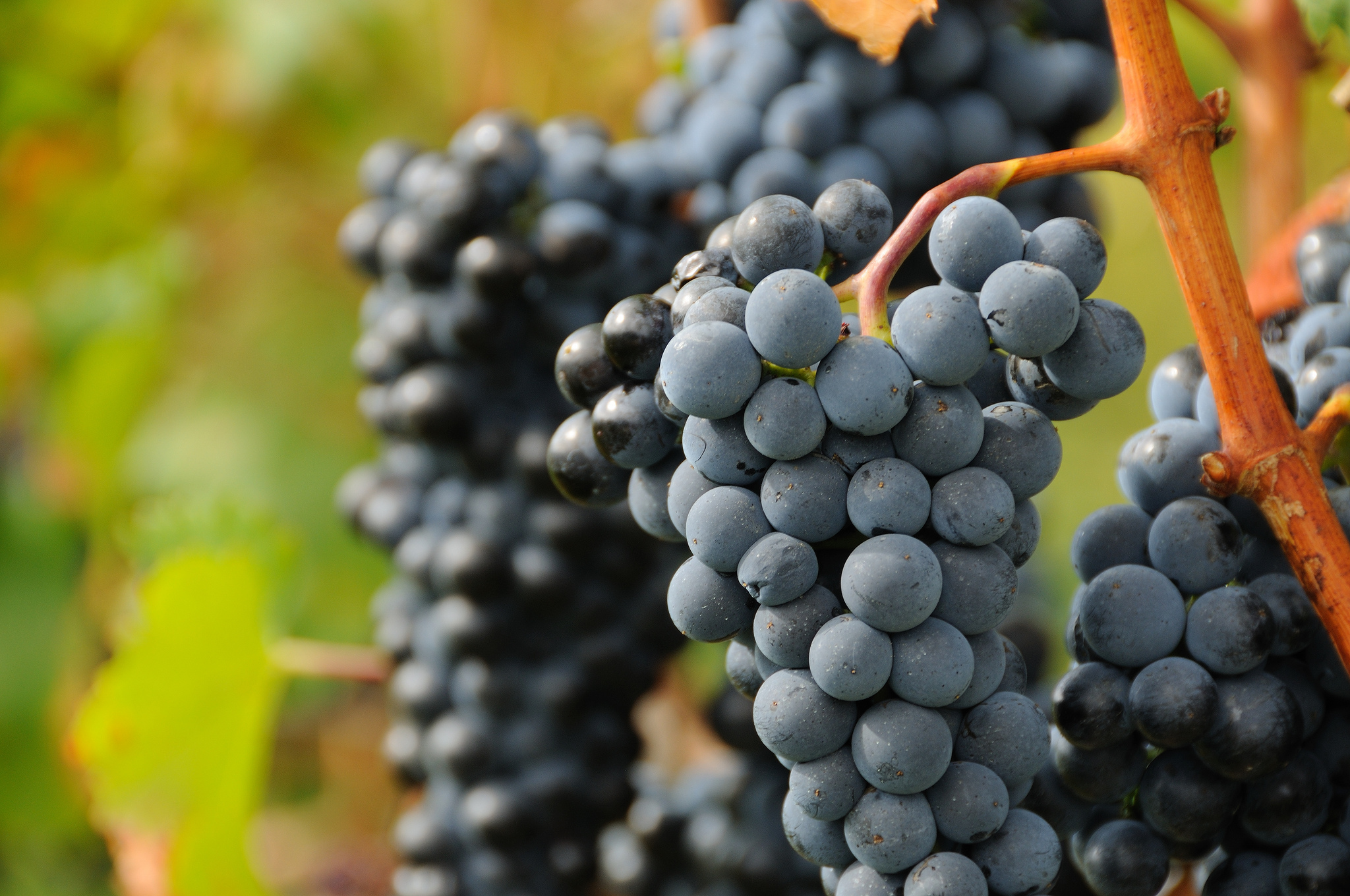 grapes wine hd wallpapers - photo #17