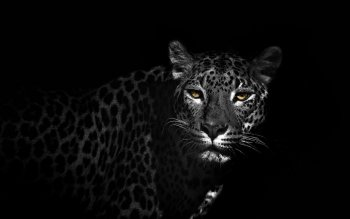 Animal - Leopard Wallpapers and Backgrounds ID : 409611