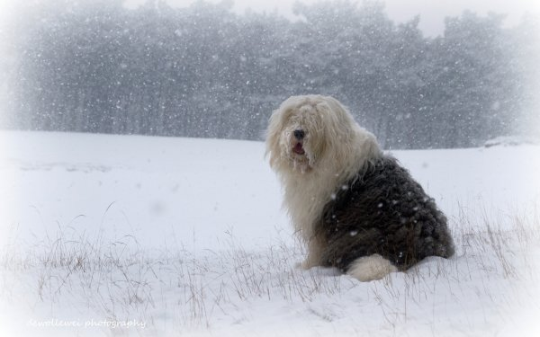 Animal Old English Sheepdog Dogs HD Wallpaper | Background Image