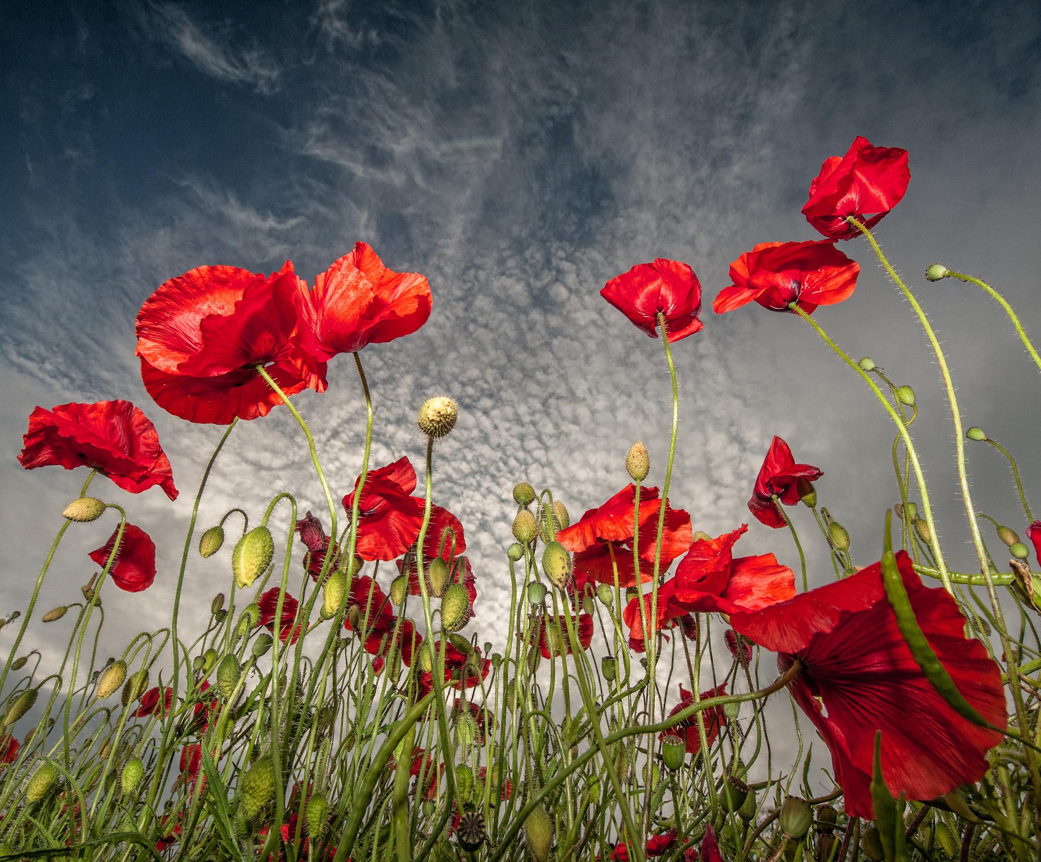 earth poppy wallpaper